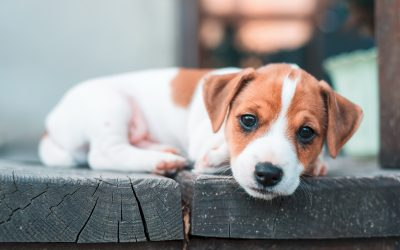 jack-russel-puppy-on-white-carpet